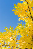Autumn background with yellow foliage over blue sky — Stock Photo