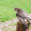 Wild falcon predator hawk fastest raptor bird of prey — Stock Photo #57604651