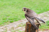 Wild falcon predator hawk fastest raptor bird of prey — Stock Photo