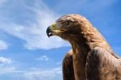 Close-up portrait of big golden eagle over deep blue sky — Stock Photo