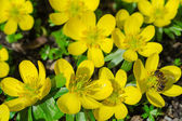 Small yellow spring flowers and bee — Stock Photo