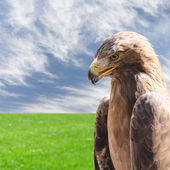 Vertical profile portrait of golden eagle over sky and grass — Stock Photo