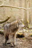 Eurasian Wolf (Canis lupus lupus) — Stock Photo