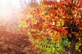 Rows of grape vines with autumn leaves at sunset — Stock Photo
