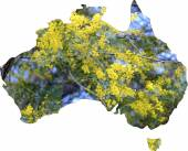 Map of Australia with wattle tree in flower — Stock Photo