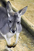 Australie occidentale kangourou gris dans cadre naturel. — Photo