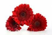Bright red gerbera daisy flowers — Stock Photo