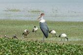 Marabou Stork, Great Rift Valley, Ethiopia, Africa — Stock Photo
