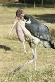 Marabou Stork, Awassa, Ethiopia, Africa — Stock Photo