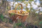 Full basket of mushrooms on the forest glade — Stock Photo