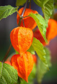 Flor de laranjeira — Foto Stock