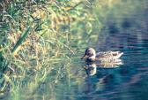 дикая утка — Стоковое фото