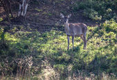 Doe in the forest — Foto de Stock