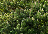 Young cones of spruce. Nature composition — Stock Photo