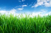 Green sprouts of wheat in the field. Blue sky with white clouds — Stock Photo