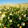 Field of camomile flowers. Flower texture — Stock Photo #75471029