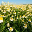 Field of camomile flowers. Flower texture — Stock Photo #75470185
