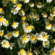 Field of camomile flowers. Flower texture — Stock Photo #75470355