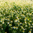 Field of camomile flowers. Flower texture — Stock Photo #75470413