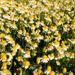 Field of camomile flowers. Flower texture — Stock Photo #75470509