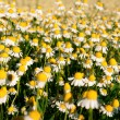 Field of camomile flowers. Flower texture — Stock Photo #75471061