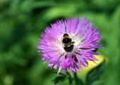 Bumble bee op bloem — Stockfoto