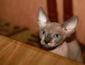 Söta sphinx katt — Stockfoto