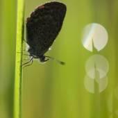 Silhouette of Butterfly (Zizina otis labradus) Warming its Wings — Stock Photo