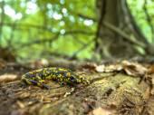 Salamandra Salamandra in Natural Old Forest Habitat — Stock Photo