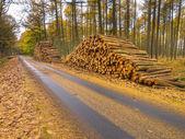 стеки древесины в желтом лесу лиственницы — Стоковое фото