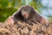 Wild Mole (Talpa europaea) in Natural Environment on a Molehill — Stock Photo