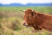 корова лежит в области — Стоковое фото