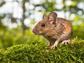 Side View of the Head of a Field Mouse (Apodemus sylvaticus)  — Stock Photo