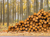 Stack of Timber in a Yellow Colored Larch Forest — Stock Photo