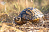 Hermann's tortoise in Grassy Environment Italy, southern Europe — Stock Photo
