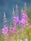Willow weed flowers in summer — Stock Photo
