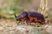 European Rhinoceros Beetle on the Forest Floor — Foto Stock