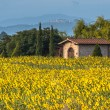 Sun Flower Field in Tuscany Landscape, Italy — Stock Photo #54068485