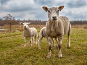 White Sheep Family — Stock Photo