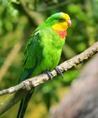 A Superb Parrot (Polytelis swainsonii), also known as Barraband' — Stock Photo