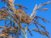Harvesting Mouse (Micromys minutus) Looking down from Reed Plume — Stock Photo