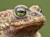 Epidalea calamita, Natterjack Toad potrait — Stock Photo