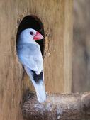 Java sparrow (Parra oryzivora) — Foto de Stock