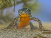 Frontal image of male Alpine Newt — Stock Photo