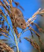 Harvesting Mouse (Micromys minutus) in Reed Plume against Blue S — Stock Photo