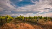 New zealand vineyard near Blenheim under a dramatic sky — Stock Photo