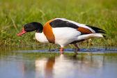 Common shelduck walking water edge — Stock Photo