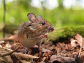 Field Mouse (Apodemus sylvaticus) praying — Foto Stock