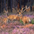 Group of red deer — Stock Photo #64796631