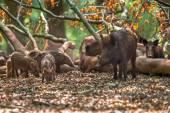 Family of Wild Boar by tree — Stock Photo